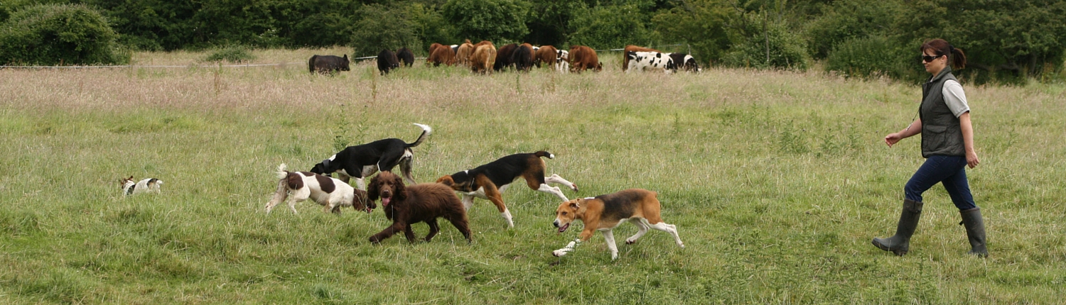 Walking through the cattle fields at Proper Dog Day Care